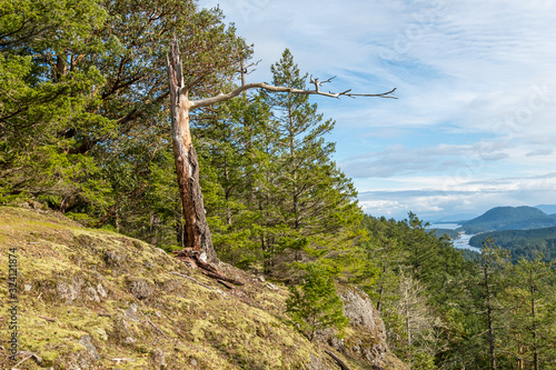a dead arbutus tree trunk on the edge of the cliff surrounded by pine trees and Canvas Print