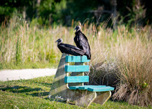 Black Faced Vulture Sitting On Park Bench In Orlando Wetlands Near Cape Canaveral.
