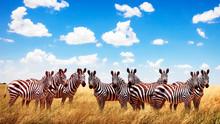 Group Of Wild Zebras In The Af...