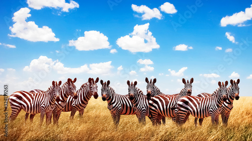 Group of wild zebras in the African savannah against the beautiful blue sky with white clouds. Wildlife of Africa. Tanzania. Serengeti national park. African landscape.
