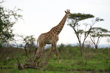 Giraffe Roaming In The Wild And Free