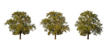 Large Tropical Tree (Tamarind ...
