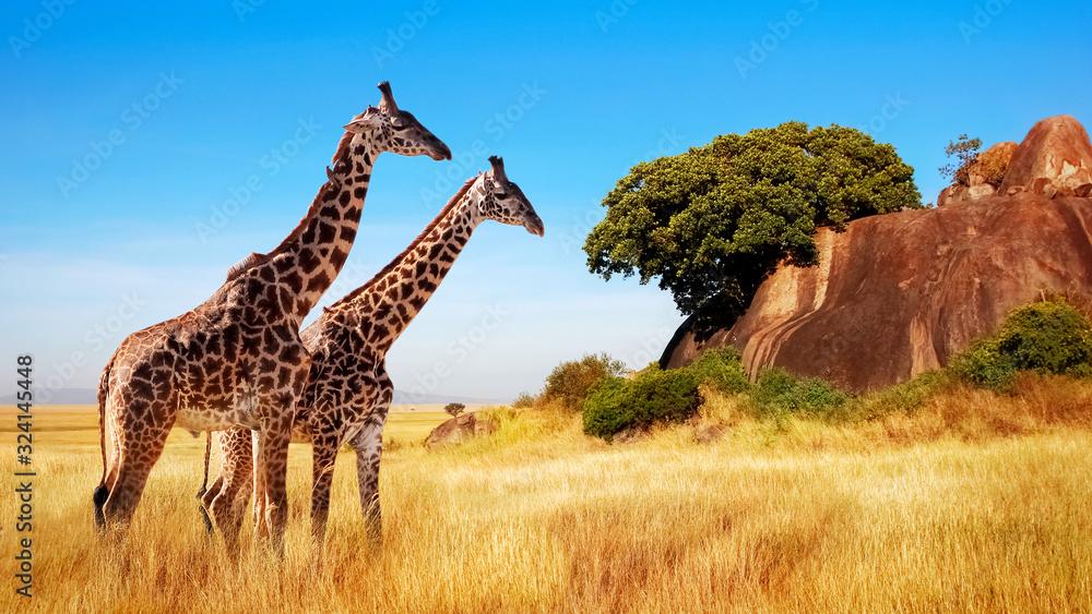 Fototapeta Giraffes in the African savannah. Serengeti National Park. Africa. Tanzania.