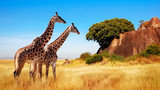 Fototapeta Sawanna - Giraffes in the African savannah. Serengeti National Park. Africa. Tanzania.