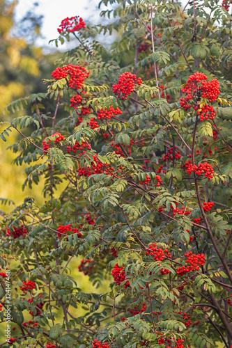 Photo rowan (Sorbus aucuparia) with a large yield of red berries