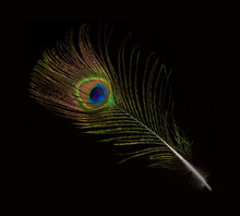Peacock Feather Isolated On Black Background
