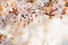 Spring Cherry Blossoming Natur...