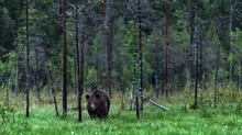 Wild Adult Male Of Brown Bear On The Swamp In The Pine Forest. Front View. Scientific Name: Ursus Arctos. Summer Season. Natural Habitat.