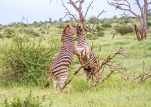 Burchell's Zebras - Interaction Between Mating Mature Animals Image In Horizontal Format