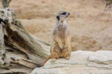 Meerkat At The Wilhelma Zoo In Stuttgart, South Of Germany