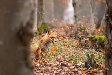 European Red Fox (Vulpes Vulpe...