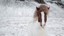 Icelandic Horse Posing In A Wild In Snow In Winter, Near Reykjavik, South Western Iceland