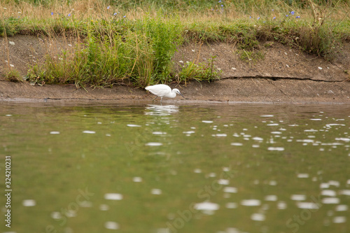 The little egret is a species of small heron in the family Ardeidae Canvas Print