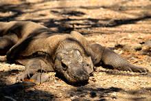 Closeup Of A Komodo Dragon In Komodo National Park