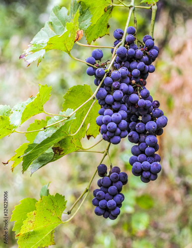 Bunches of blue grapes growing on a vine Canvas Print