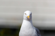 RUNDE, NORWAY - 2018 JUNE 26. Portrait Of A Seagull Bird In Front.