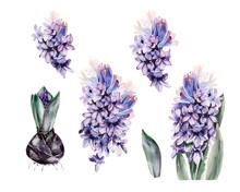 Watercolor Spring Hyacinth Flo...