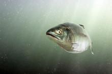 Chum Salmon In The Sea. Underw...