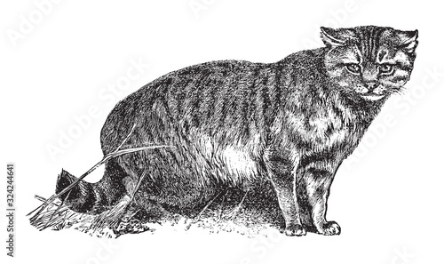 House cat or the domestic cat (Felis catus) / vintage illustration from Brockhau Canvas Print