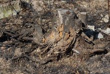 One Old Gray Dry Stump With Charred Black Roots In Nature