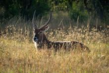 Male Defassa Waterbuck Lies In Long Grass