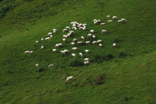 A Flock Of Sheep Grazing In A ...