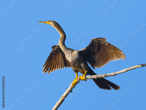 Anhinga with Open Wings Portrait on Blue Sky, Front View Wallpaper Mural
