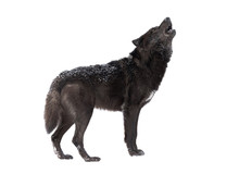 Howling Wolf Winter Isolated O...