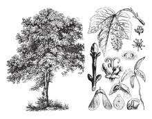 Sycamore Maple (Acer Pseudoplatanus) / Vintage Illustration From Brockhaus Konversations-Lexikon 1908