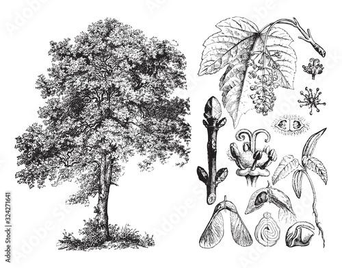 Sycamore maple (Acer pseudoplatanus) / vintage illustration from Brockhaus Konve Fotobehang