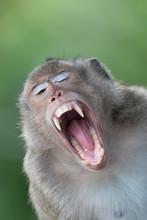 Danger Asian Monkey In The For...