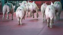 Pigs Butt Running In The Farm.