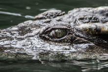 Dangerous Asian Crocodile In Nature.