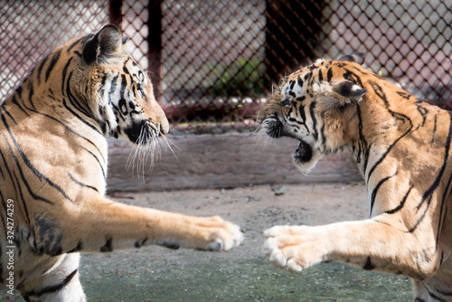 Panthera tigris tiger in the natural. Fototapete