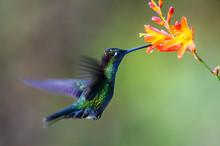 Hummingbird Long-tailed Sylph,...