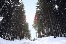 Picturesque View Of Snowy Coniferous Forest On Winter Day, Low Angle View