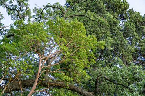 Photo Beautiful Arbutus andrachne tree or Greek strawberry tree with red trunk and evergreen leaves on Pubescent oak (Quercus pubescens) background in Massandra park, Crimea