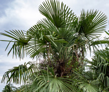 Green Subtropical Plant With L...