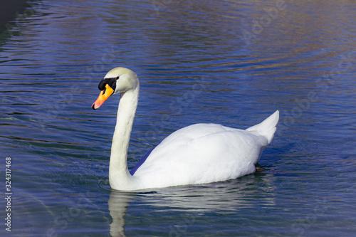 Cisne paseando por el estanque Canvas Print