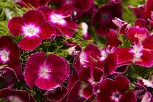Dianthus Barbatus, Sweet William, Natural Floral Background