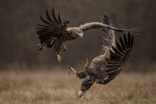 White Tailed Eagles Fighting E...