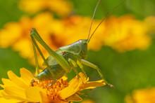 Close Up Of Green Grasshopper ...