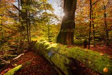Bearforest