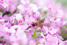 Honey Bee Collects Nectar And Pollen From Phlox Subulata, Creeping Phlox, Moss Phlox, Moss Pink, Or Mountain Phlox. Honey Plant In Summer On Alpine Flowerbed. Selective Focus.