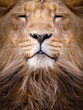 Face of a lion closeup