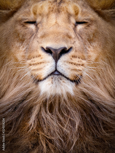 Fotomural Face of a lion closeup