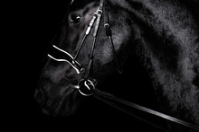 Black Purebred Friesian Horse ...