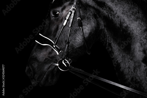 Black purebred friesian horse in black dressage bridle and bit isolated on black background Tapéta, Fotótapéta