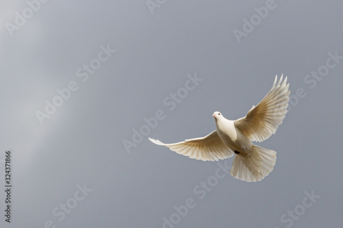Valokuva white dove flies on a background of a stormy sky