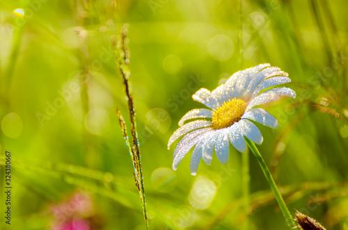 Obraz Wild camomile flowers - fototapety do salonu